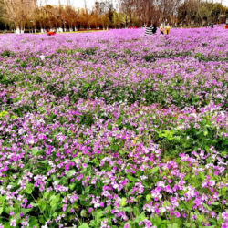 Field of purple flowers | Arizona Reproductive Medicine Specialists